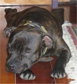 Close up front view - A brown, brindle with white Staffordshire Bull Terrier puppy laying down on a hardwood floor facing the right next to a rug.