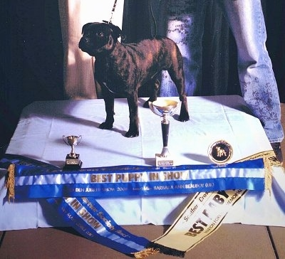 Front side view - A brown brindle with white Staffordshire Bull Terrier dog standing across stage covered in a white blanket at a dog show looking up and to the left. There are a bunch of trophies and awards in front of it.
