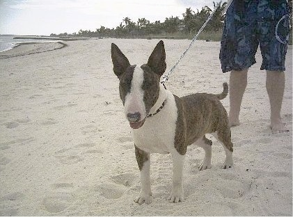 A grey and white Standard Bull Terrier puppy is standing on a sandy beach with a person holding its leash behind it. The dogs mouth is open and tongue is out. The ocean is to the left of the picture.
