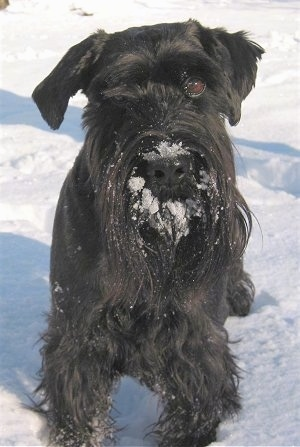 Close up front view - A black Standard Schnauzer dog standing in snow and it has snow all over its muzzle.