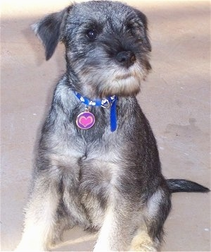 Close up front view - A black and tan Standard Schnauzer puppy sitting on a carpeted surface  looking up and to the right.