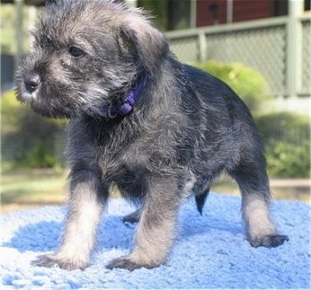 Close up - A black and grey Standard Schnauzer puppy standing across a blue knit blanket and it is looking to the left.