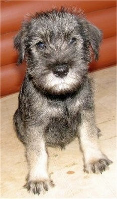 Elsie, the Standard Schnauzer puppy at 8 weeks old