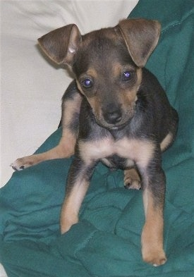 Front view - A black with tan and white Taco Terrier puppy is sitting on a green blanket and it is looking forward. It has v-shaped ears that hang down to the front, a black nose and small paws.