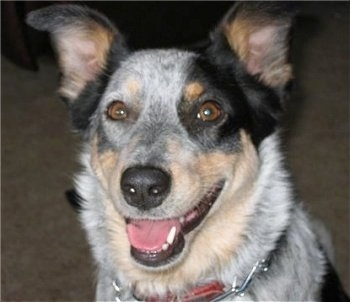 Matilda, the Texas Heeler at 2 years old (mother is an Australian Shepherd, father is an Australian Cattle Dog)