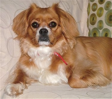 The front left side of a red with white Tibetan Spaniel that is laying across a bed and it is looking forward. The dog has a medium-length coat with longer hair on its ears and the back of its legs, big black eyes and a black nose with black lips. Most of its coat is reddish brown with white on it is chest and tips of its paws.
