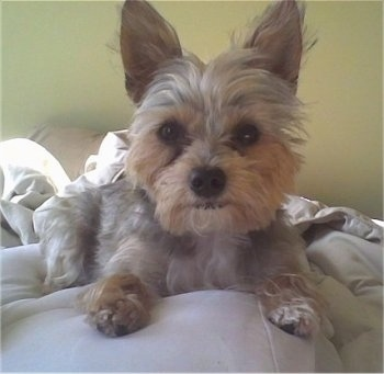 """Teddy is a Torkie (Yorkshire Terrier/Toy Fox Terrier Mix). He is approximately 2 years old and 7 � lbs in this picture."""