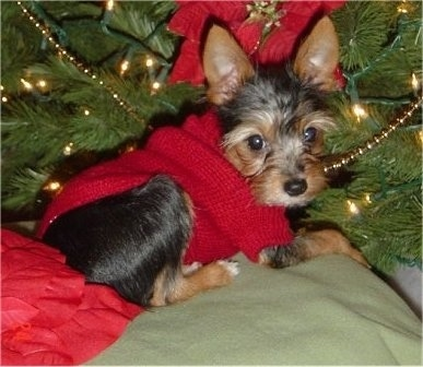 """Teddy is a Torkie (Yorkshire Terrier/Toy Fox Terrier Mix). He is approximately 5 months old and 3 � lbs in this picture."""