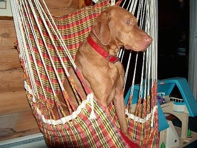 The right side of a short-haired, large-breed, red Vizsla dog sitting in a red and yellow hammock chair looking to the right.
