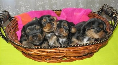 A litter of black, tan with white Yorkie puppies are laying in a wicker basket.