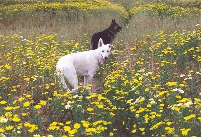 A White and A black and tan German Shepherd are standing in a feild of yellow flowers