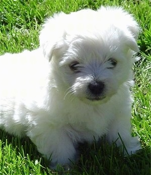 Close Up - The front right side of a sitting white Wee-Chon puppy that is in grass. It has soft thick fur, dark eyes and a black nose.