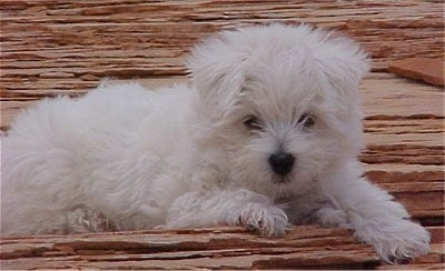 The right side of a white Wee-Chon puppy that is laying across a wooden surface. It has a fluffy white coat, a black nose and dark eyes.