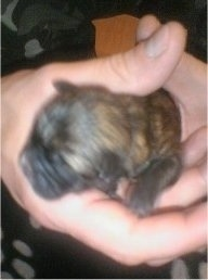 A tiny newborn Weshi puppy being held in a persons hand.