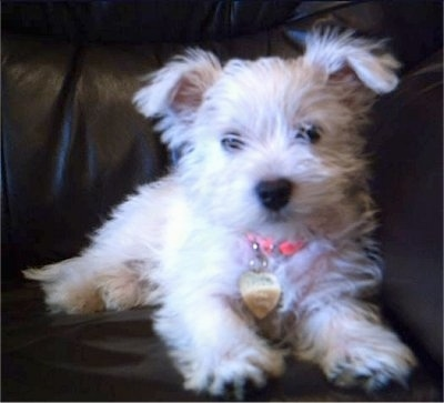 Kizzi, the Weshi (Westie / Shih-Tzu) puppy at 3 months old
