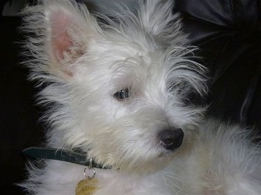Close up - A white scruffy looking Weshi puppy is laying across a black leather couch looking to the right. It has thin longer hairs on its face, a black nose and dark eyes with small perk ears.