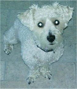 Topdown view of a White Westiepoo that is sitting on a tiled floor and it is looking up. It has a short curly thick coat and small fold over v-shaped ears. Its coat is shaved.
