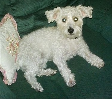 The right side of a curly, wavy soft coated white Westiepoo dog that is laying across a green arm chair and it is looking up. It has wide round eyes, a dark nose and dark lips.