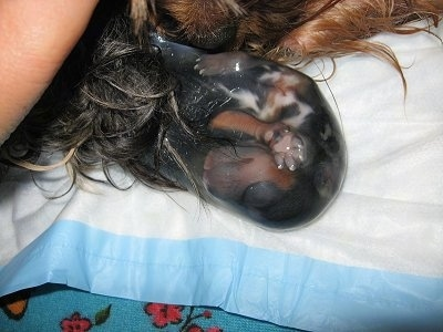 A newly born puppy inside of a sac on top of a towel and laying next to the dam. The puppy is all wet.