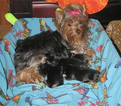 A black with brown Yorkie dog with a pink bow in her hair is laying in the back of a whelping box and nursing four puppies.