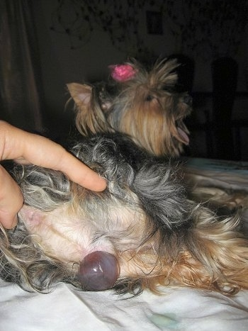 A puppy sac is beginning to present itself out of the back end of a brown and black Yorkshire Terrier dog.
