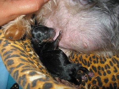 A small wet black and tan puppy nursing from its mother on top of a leopard print cushion.