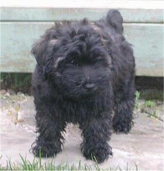 Front view - A thick, wavy coated, black Whoodle puppy is standing on a concrete surface and it is looking down and to the right.