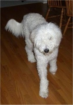 Front view - A curly coated, white Whoodle dog walking across a hardwood floor. It has a black nose and its thick coat is covering up its eyes.