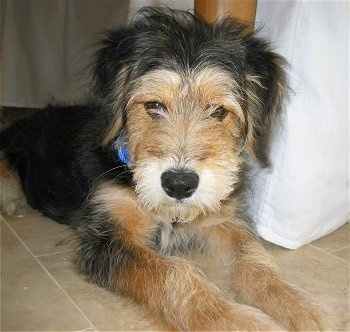 Close up - A soft but scruffy looking black with tan Wirelsh Terrier dog is laying under a table on a tiled floor. It has tan on its snout and front paws and black on the top of its head, ears and back. Its nose is black and its eyes are dark.