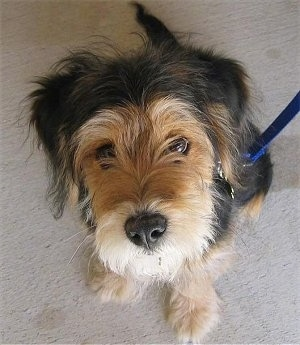Top down view of a thick coated black with tan Wirelsh Terrier puppy that is sitting on a carpet and looking up. It has a blue leash attached to its collar. It has a black nose, a tan snout with black on the top of its head and back.
