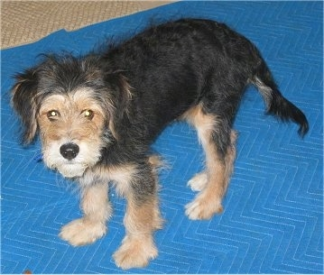 The left side of a scruffy looking black and tan Wirelsh Terrier puppy that is standing on blue mat and it is looking up. It has ears that hang down to the sides and a long tail that it is holding low.