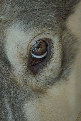 Close up - The golden brown eye of a tan and black Wolamute.