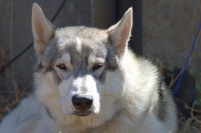 Close up - A white and grey Wolamute is laying outside in a yard and it is looking forward. There is a concrete wall behind it. It has a wide forehead with perk ears that are set far apart and a big black nose.