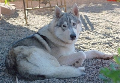A gray and white, thick coated, wolf looking dog laying down in white stones looking back.