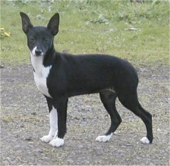 The left side of a black with white Xoloitzcuintli dog standing across a dirt walkway and it is looking forward. It has a short black coat with white on its chest and paws with large black perk ears, a black nose and dark eyes.