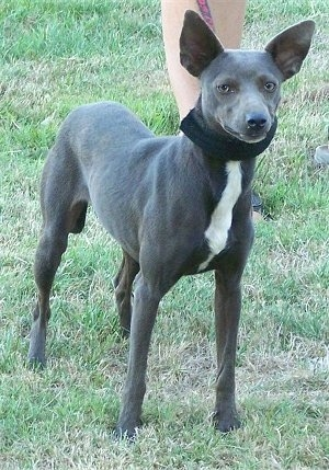The front right side of a dark gray with white Xoloitzcuintli that is wearing a scarf and there is a person to the right of it holding its collar. The dog has large perk ears that are set wide apart.