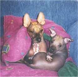 Xolo with her pup. Courtesy of Rene wheeler, Camino Xoloitzcuintli