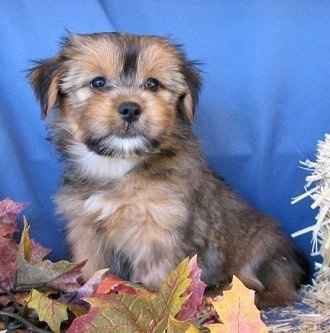 The left side of a tan and black with white Yorkie-Apso puppy that is sitting against a blue black drop with colorful leaves in front of it looking forward.