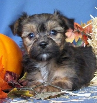 The right side of a tan and black with white Yorkie-Apso puppy that is laying in front of a blue backdrop. There is a pumpkin to the left of it with colorful leaves around it.