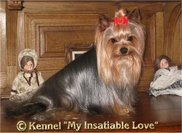 The right side of a long coated black with brown groomed Yorkshire Terrier that is sitting across a wooden ledge. It is looking forward and it is wearing a red ribbon holding its long hair out of its dark eyes. There are two dolls behind it. At the bottom the words - &copy Kennel 'My Insatiable Love'