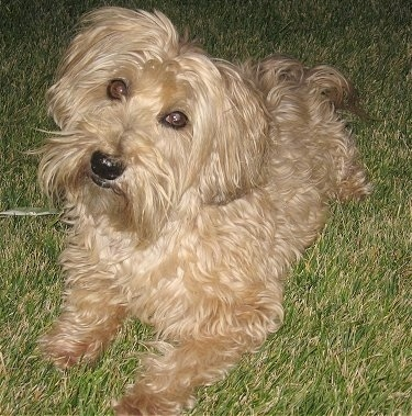 Top down view of a thick wavy coated, tan Yorkipoo dog laying across a grass surface. It is looking up and its head is slightly tilted to the right. It has brown eyes, a black nose and black lips.