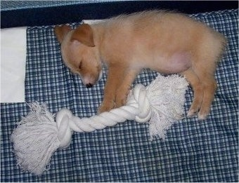 Top down view of a brown Yorkie Russell puppy that is sleeping on its right side on a couch. In front of the sleeping puppy is a rope toy that is the same length as the pup.