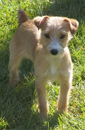 The front right side of a brown with white Yorkie Russell puppy that is standing on grass and it is looking forward. It has longer hair on its snout that reaches in front of its dark round eyes and a black nose.