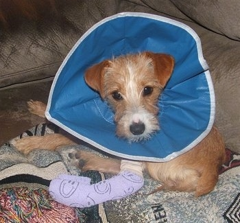 The left side of a tan with white Yorkie Russell puppy that is laying on a couch. The puppy has a cast on its leg and a blue flexible cone around its neck.