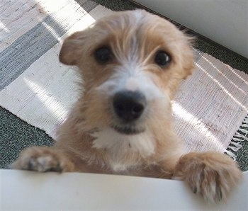 Close up - A tan with white Yorkie Russell puppy is standing up against a wall and it is looking up. Its ears are pinned back. It has a big black nose and dark round eyes.