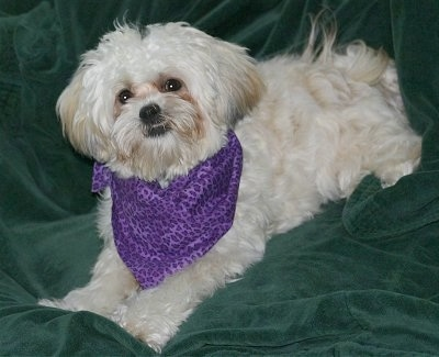 The front left side of a white Zuchon dog laying on a green blanket and it is wearing a purple bandana. It has a thick wavy coat, an underbite that shows its bottom teeth, dark round eyes and a black nose.