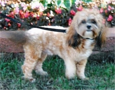 The right side of a tan and brown Zuchon that is standing across a yard and there is a flower bush behind it. The dog is looking forward and has a body that is shaved short with longer hair on its long tail and longer hair onits long drop ears. It has a black nose and dark eyes.