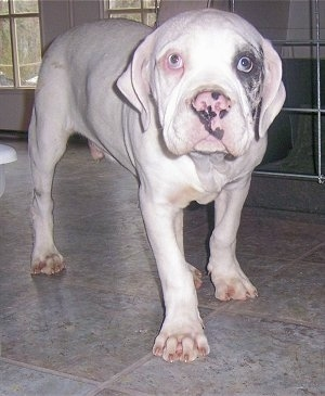 White Alapaha Blue Blood Bulldog puppy standing on tiled floor next to a cage