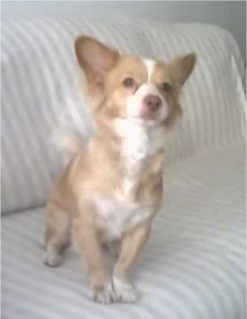 View from the front - A small breed, tan with white Alopekis dog is sitting on a white and tan striped couch looking up.