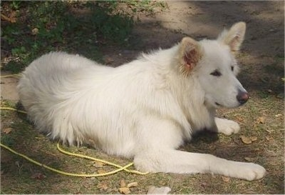 The front right side of a pure white Alusky that is laying across a patch of grass with a rope next to it.